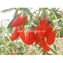Nutrition Dried Goji Berries