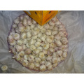 Export Standard Normal White Garlic