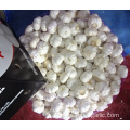 Export Pure White Garlic