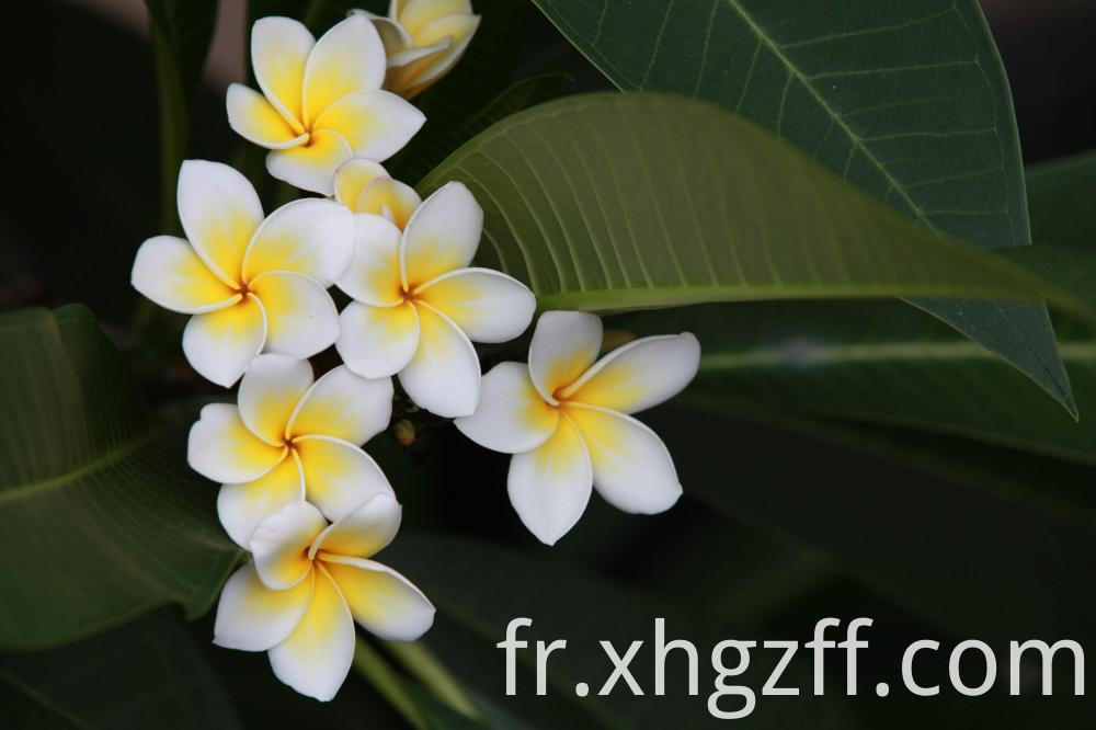 Frangipani Essential Oil Uses
