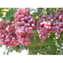 Red grapes from yunnan