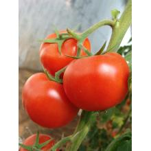 Holiday sales for Yellow Long Tomato Hybrid Tomato vegetable seeds supply to Indonesia Supplier