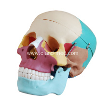 Hot Sale for for Liver | Stomach Model, Life-Size Heart Model, Human Heart Model - China. Life-Size Skull with Colored Bones export to Anguilla Manufacturers