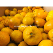 New crop fresh Nanfeng baby mandarin for sale