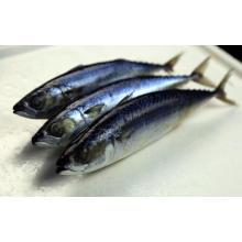 Hot-selling attractive for Main Seafood Products Whole Round Frozen Mackerel Fish export to Malta Importers