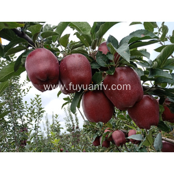 2019 year new fresh Huaniu apple