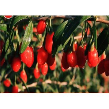 High Quality Certified Top grade goji berry/wolfberry