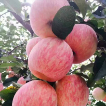 NingXia New Middle Size Organic Red Fuji Apples