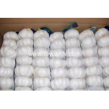 China for Pure White Garlic 5.5-6.0Cm The best quality fresh pure white garlic supply to Fiji Exporter