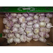 Export Standard Normal White Garlic New Crop