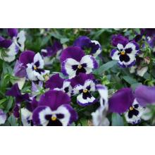 Beautiful Chinese Herbal Pansy