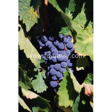 The best export grade fresh red grape