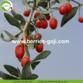 Wholesale Super Food Dried Wolfberry Fruit