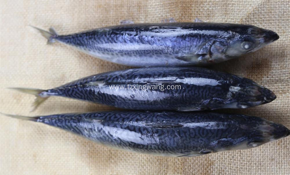 Sea Frozen Whole Round Mackerel