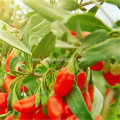 Largest supply natural Black Goji Berry