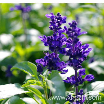 High Quality for Clary Sage Essential Oil Clary Sage Essential Oil 50ml export to United States Manufacturers