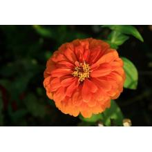 China for Zinnia Flower Seed Chinese Beautiful Zinnia Flower Seeds supply to Madagascar Supplier