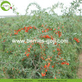 New Arrival Buy Bulk Super Conventional Goji Berry