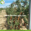 Hight Quality Nutrition Dried Organic Goji Berry