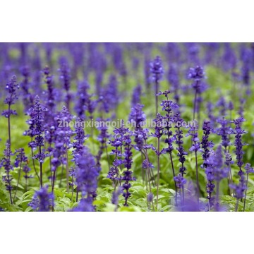 100% Pure and Natural clary sage essential oil