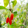 Freeze Dried Goji Berry  2018