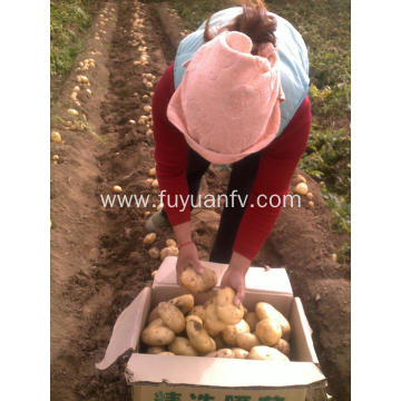 Shandong Tengzhou production organic holland fresh potatoes