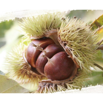 sweet chestnut with shell for sale