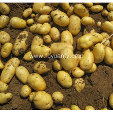 fresh holland potato export to Srilanka