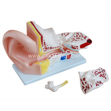 Europe style for for Liver | Stomach Model, Life-Size Heart Model, Human Heart Model - China. Giant Ear Model export to Mexico Manufacturers