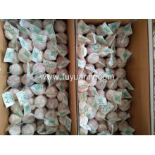 Good quality 100% for Normal White Garlic 5.5-6.0Cm Fresh Garlic to Israel market export to Guyana Exporter