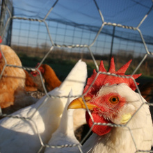 Good Wire Mesh For Chicken Coops