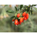 wholesale high quality organic black goji berries/Chinese wolfberries from Ningxia