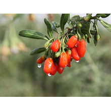 Hot New Products for China Premium Wolfberry,Premium Goji Berry,Bulk Premium Wolfberry,Premium Dried Wolfberry Supplier Zhongning Premium Red Wolfberry export to Azerbaijan Factory