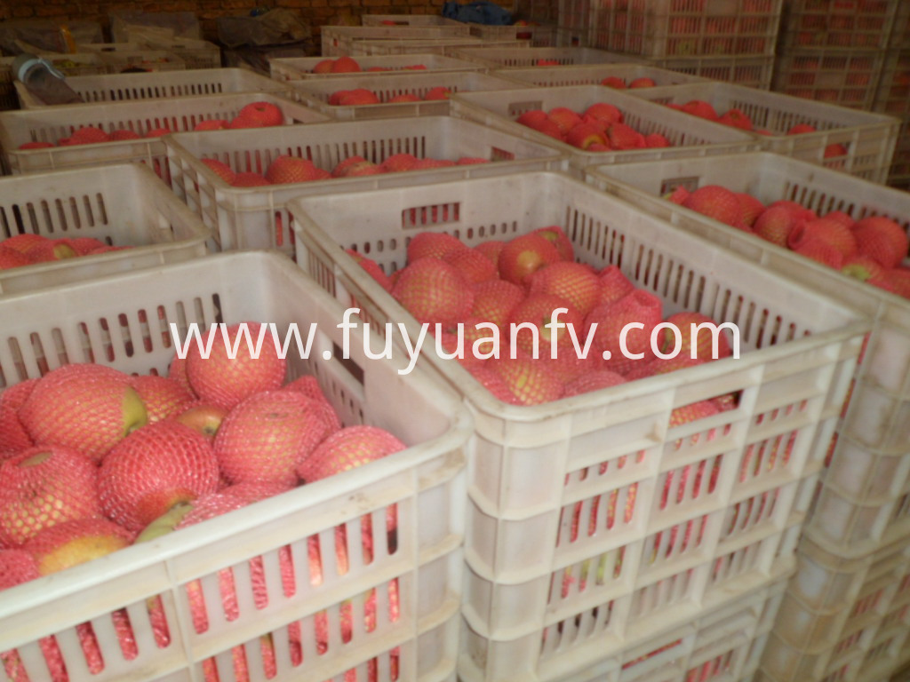 qinguan apple from China