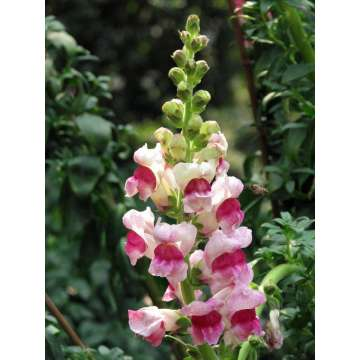 Special Price for Snapdragons Flower Seeds Amazing Chinese Snapdragon Flower export to Greenland Suppliers