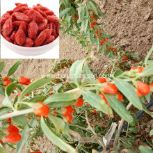 ISO 350gains/50g Dried Goji berry with GMP
