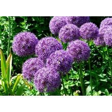 Top for Giant Onion Ball Allium Giganteum Flowers Allium Giganteum Regul Sale export to Niue Supplier