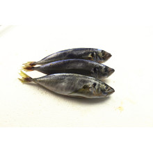 China for Main Frozen Seafood Whole Sea Round Frozen Scad Mackerel supply to Belize Importers