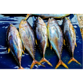 sea frozen bonito fish AA quality