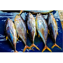 ODM for Frozen Fishes Mix Sea Frozen Yellow Fin Tuna supply to British Indian Ocean Territory Importers