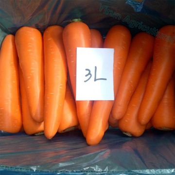 Top Grade Red Carrots 3L size