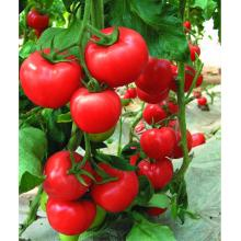F1 hybrid greenhouse determinate tomato seeds
