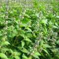 Wholesale 100% quality Nepeta oil catnip oil