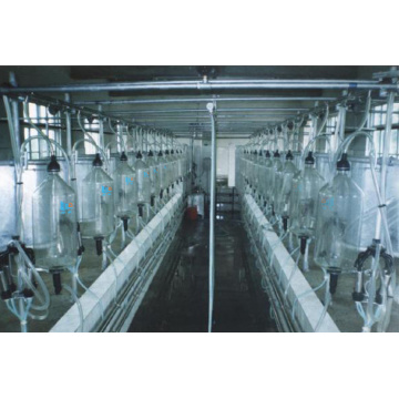 Cow used herringbone milking parlor