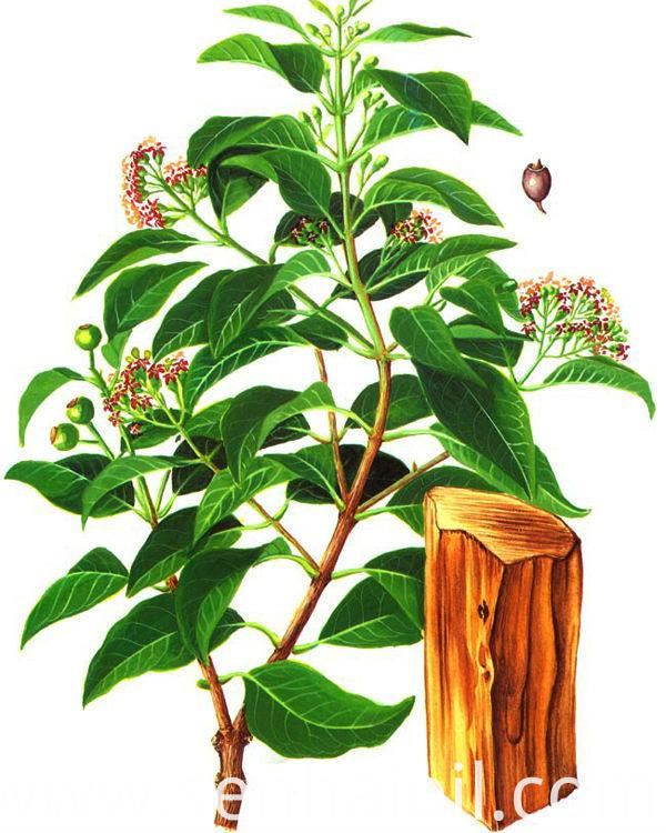 Natural and Pure Sandalwood Essential Oil
